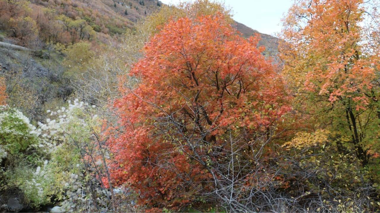 Wasatch Maple