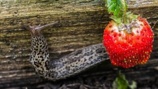 What Is Eating My Strawberries