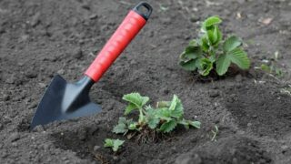 When to Fertilize Strawberries