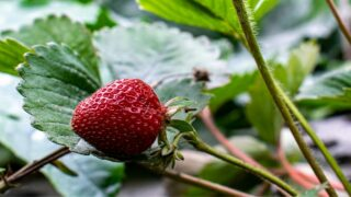 When to Plant Strawberries in NC
